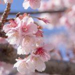 【心理テスト】お花見の役割でわかるあなたの「二重人格度」